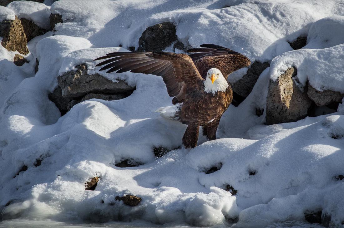Eagle on a Snowy Bank