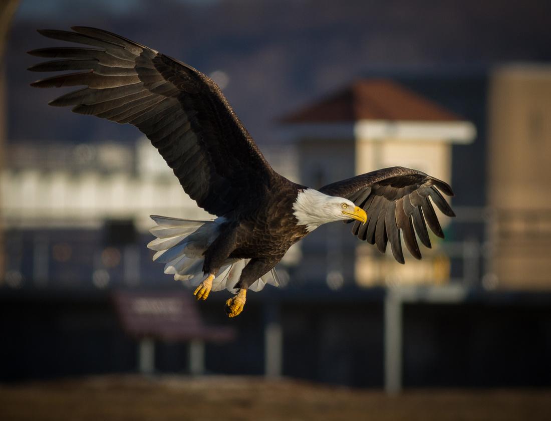 Golden Hour Bald Eagle