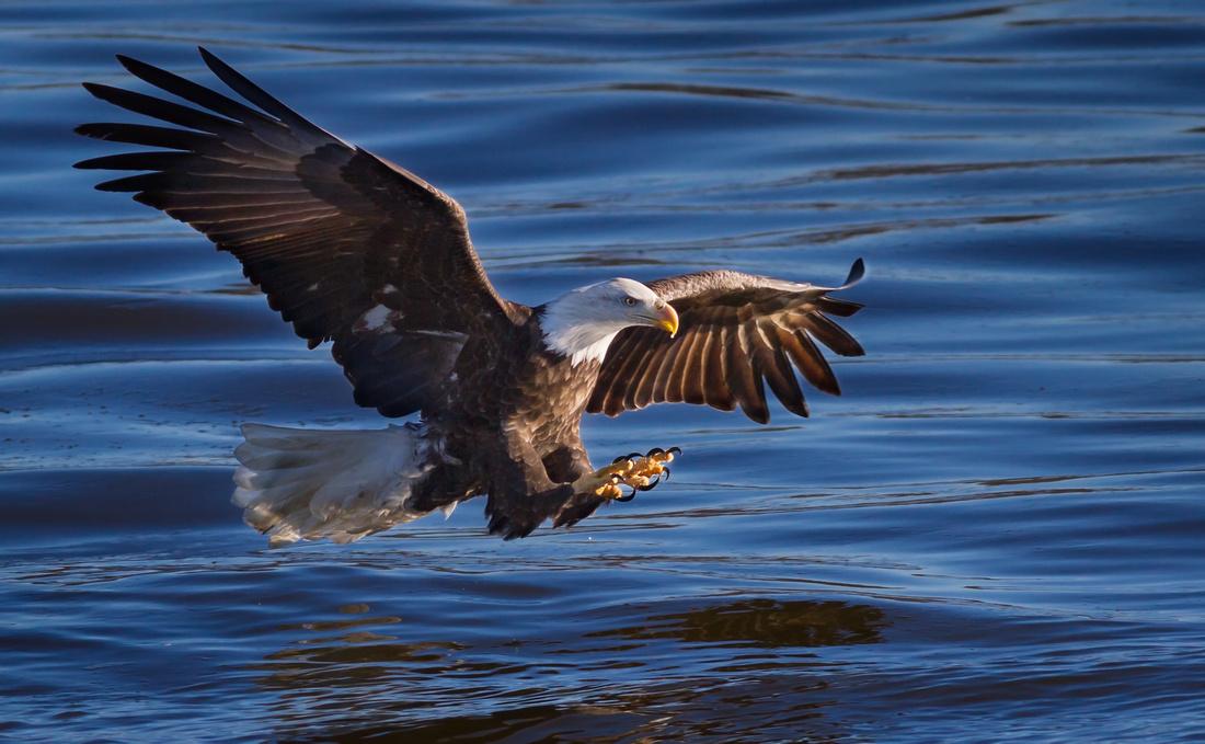 American Bald Eagle- Fishing Pose