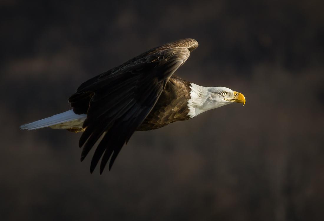 Eagle Smiling into the Sun