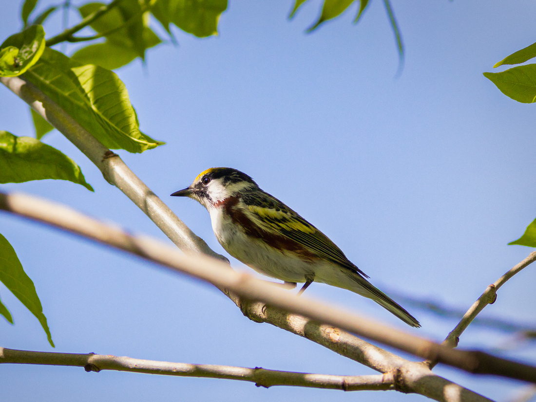 Chestnut-sided Warbler Basking in the Glow