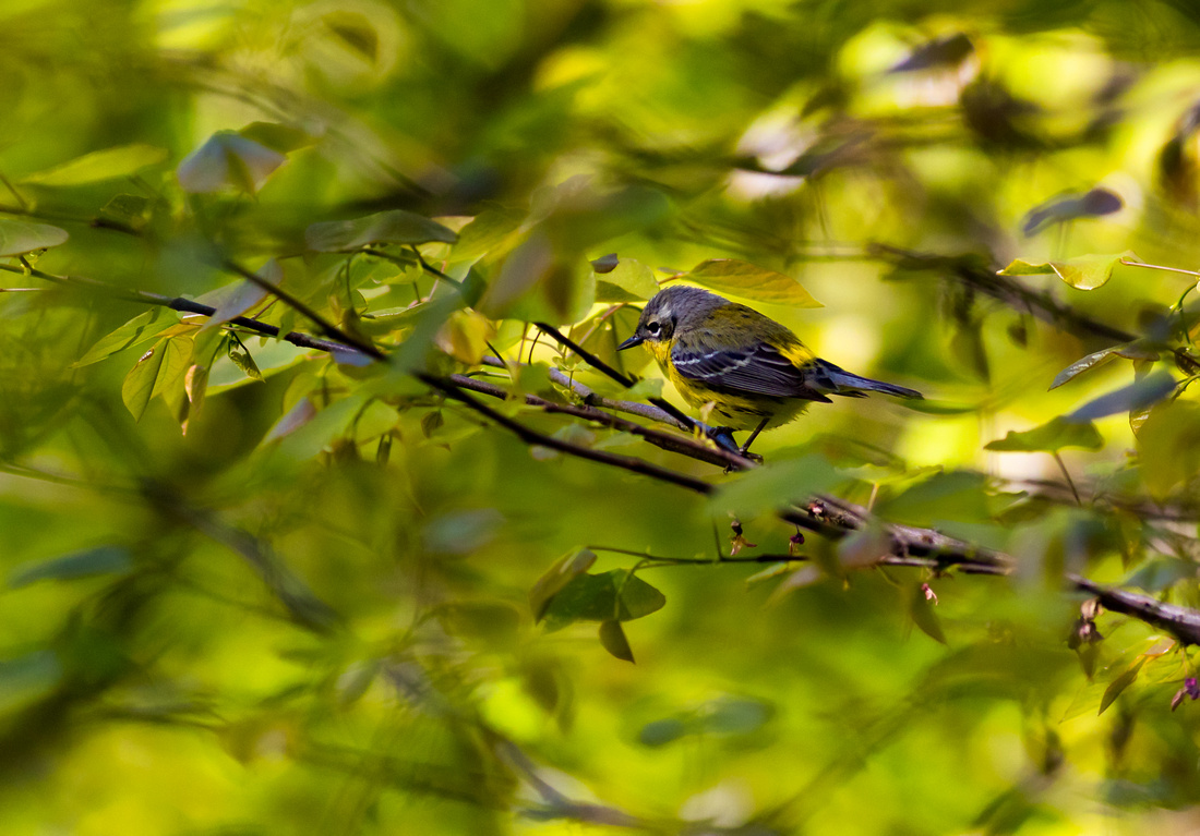 Magnolia Warbler Among the Leaves