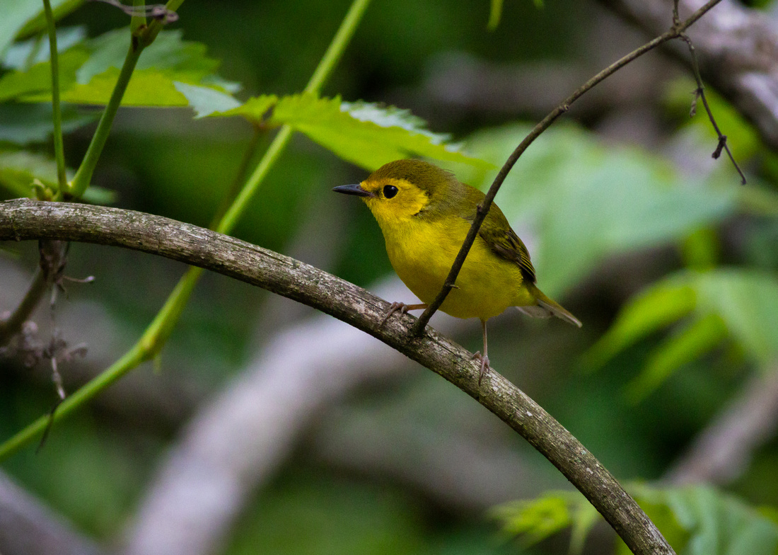 Hooded Warbler in the Thicket