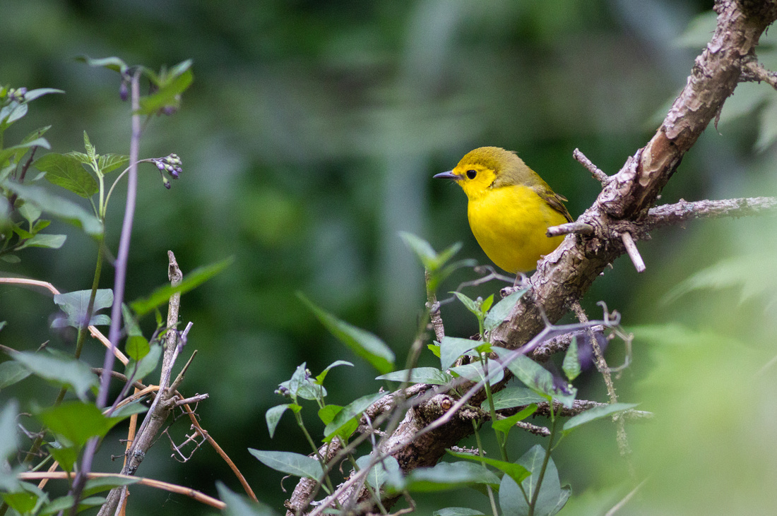 Side Profile of the Hooded Warbler