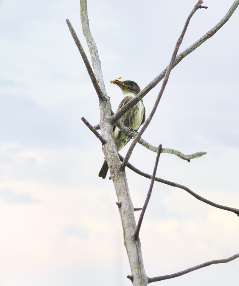 Olive-sided Flycatcher with a Bee
