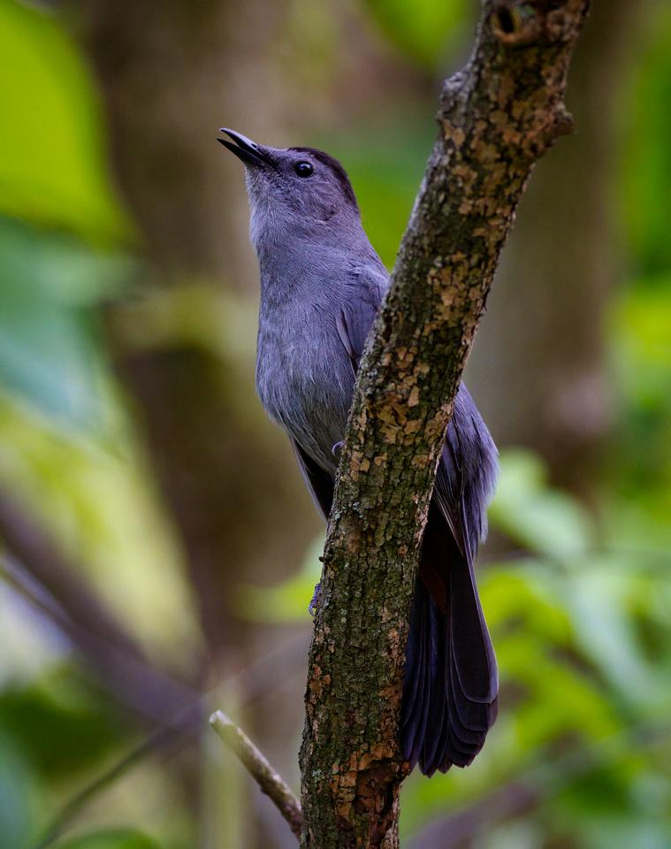 Singing Gray Catbird