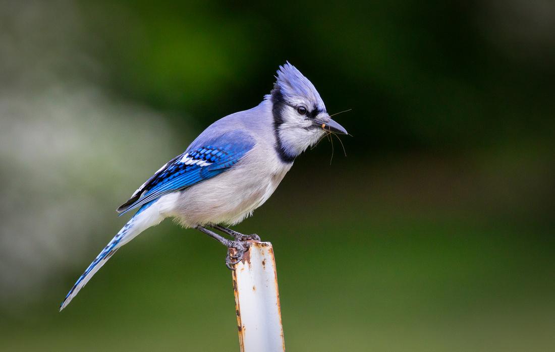 Blue Jay with a Bug