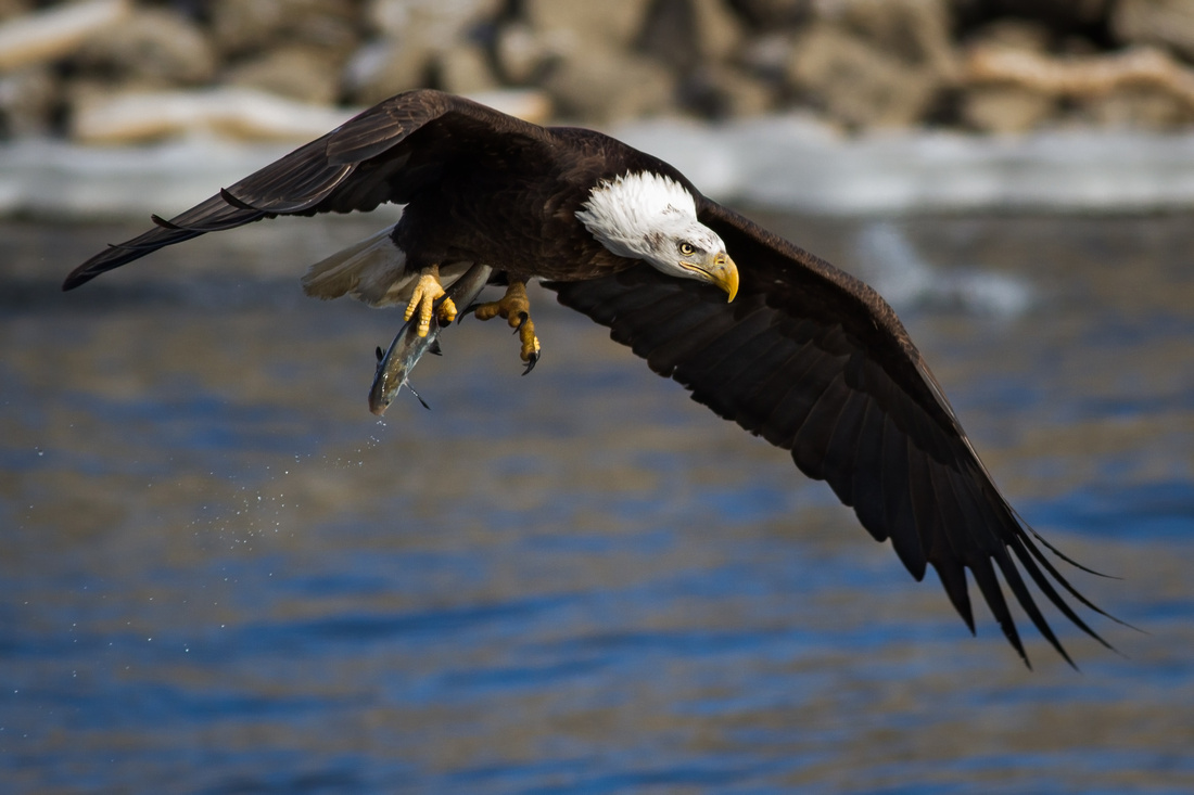 Eagle with a Fish for Dinner