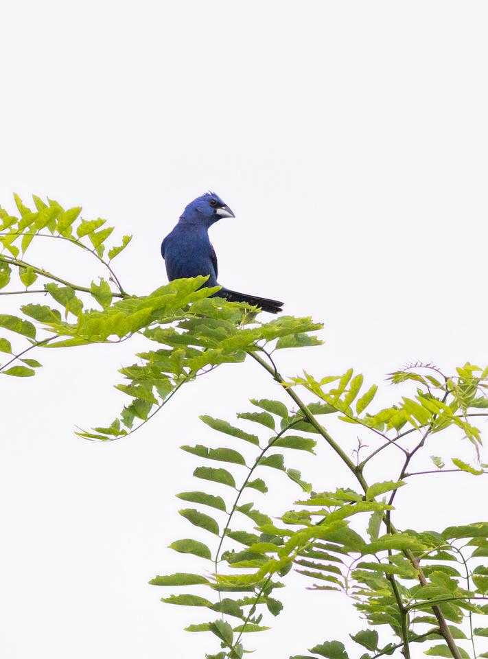 Male Blue Grosbeak-4