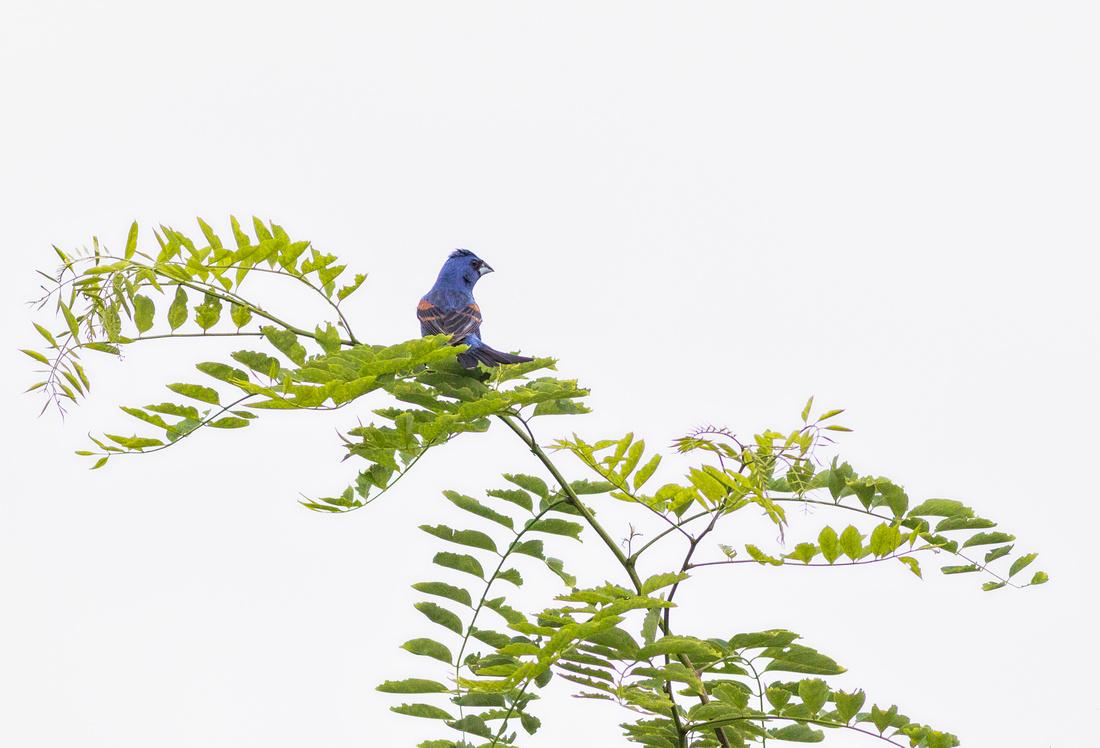 Male Blue Grosbeak-3