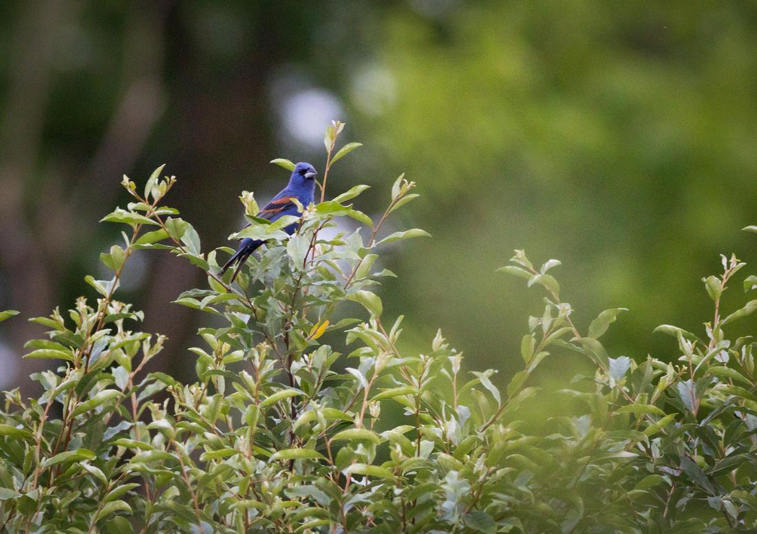 Male Blue Grosbeak-5