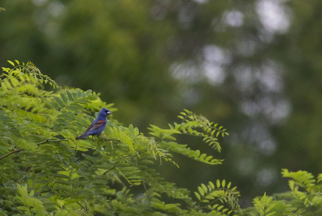 Male Blue Grosbeak-6