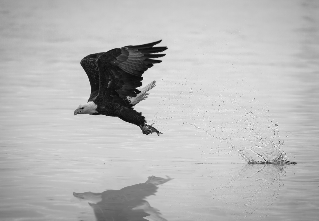 Eagle Fishing in Black and White (Dramatic Edit)
