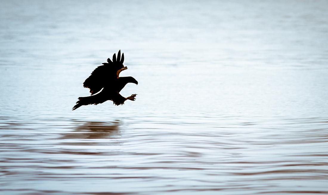 Back-lit Eagle over Mississippi River Waters