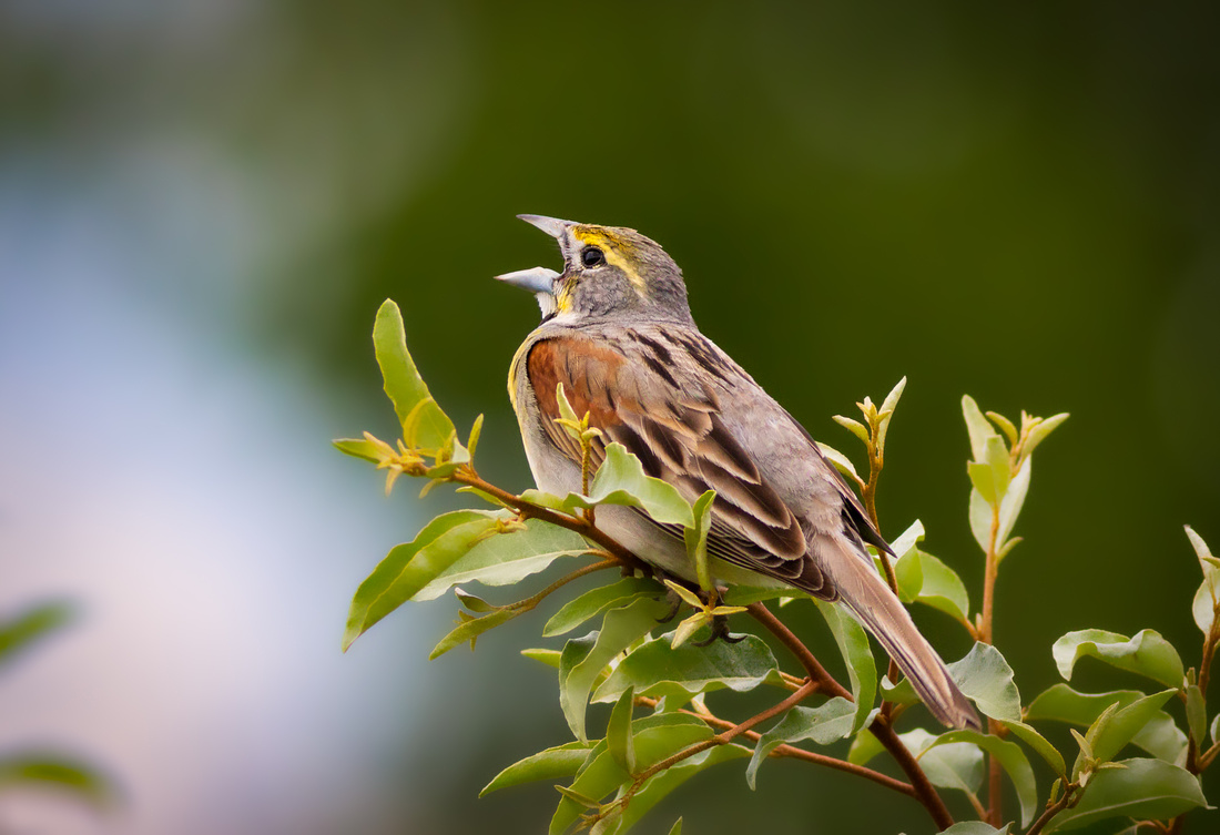 Evening Song by a Dickcissel