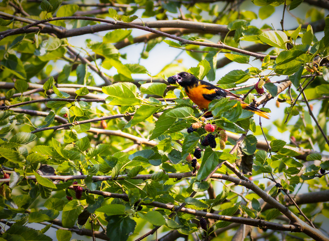 Baltimore Oriole in a White Mulberry Tree