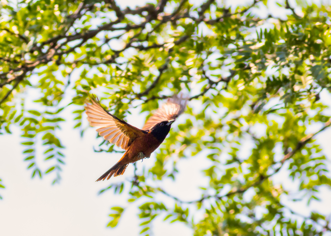 Orchard Oriole Flying Under a Shade Tree