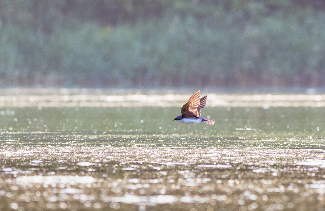 Tree Swallow Skimming the Pond for Bugs