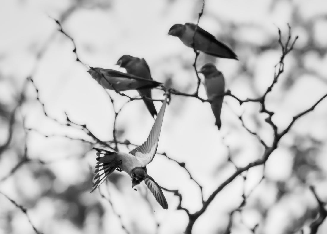 Barn Swallows Getting Fed