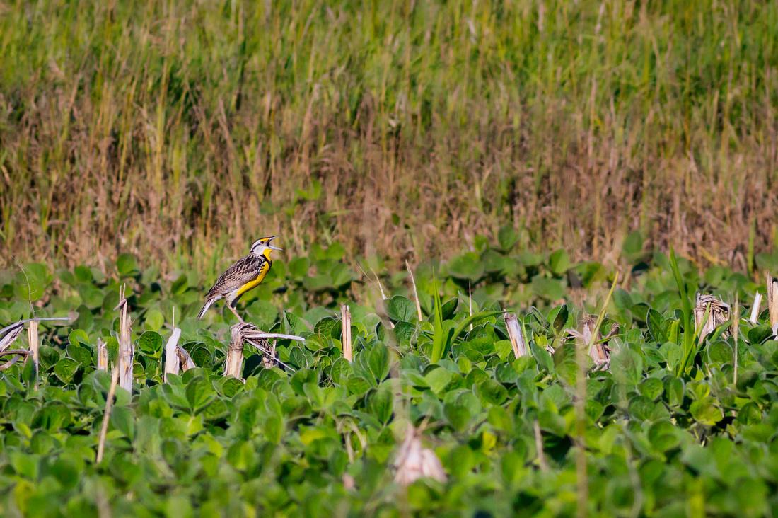 Eastern Meadowlark-7