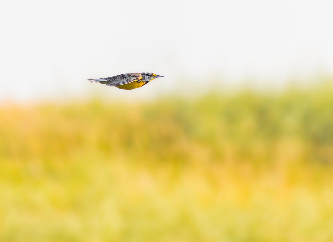 Eastern Meadowlark-1