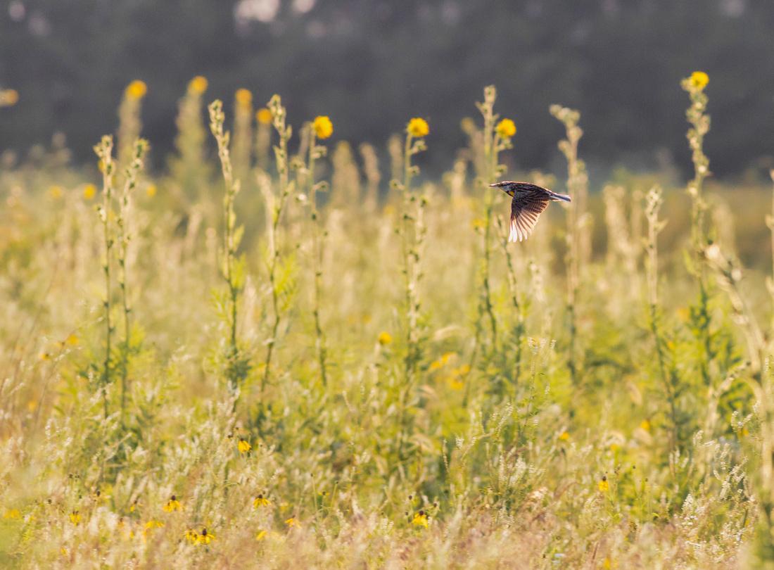 Eastern Meadowlark-3