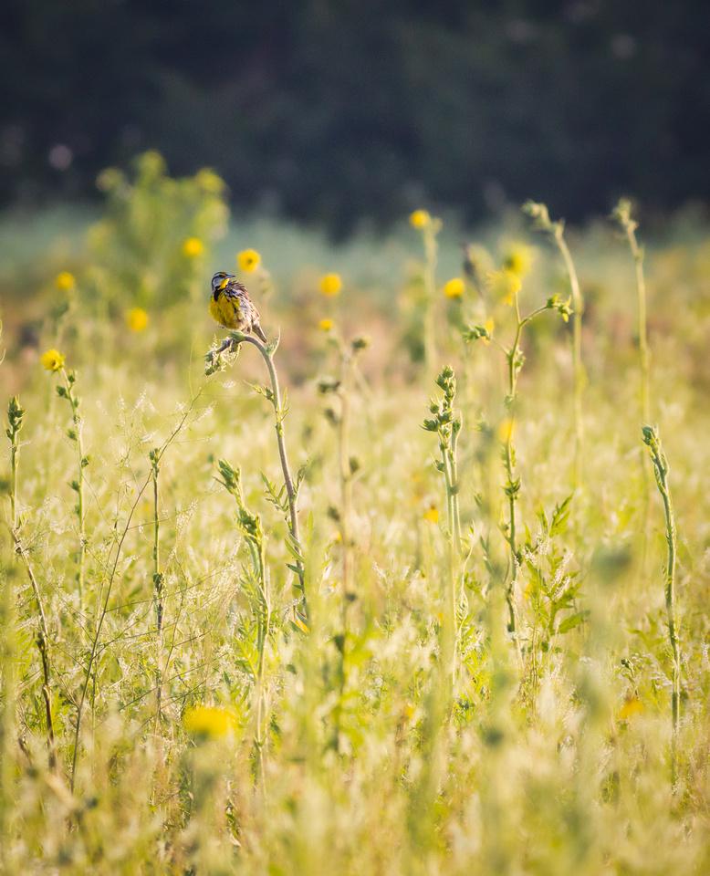 Eastern Meadowlark-4