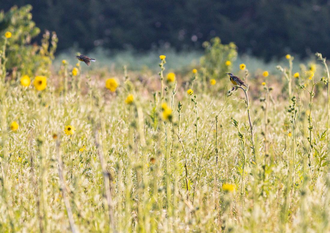 Eastern Meadowlark-5