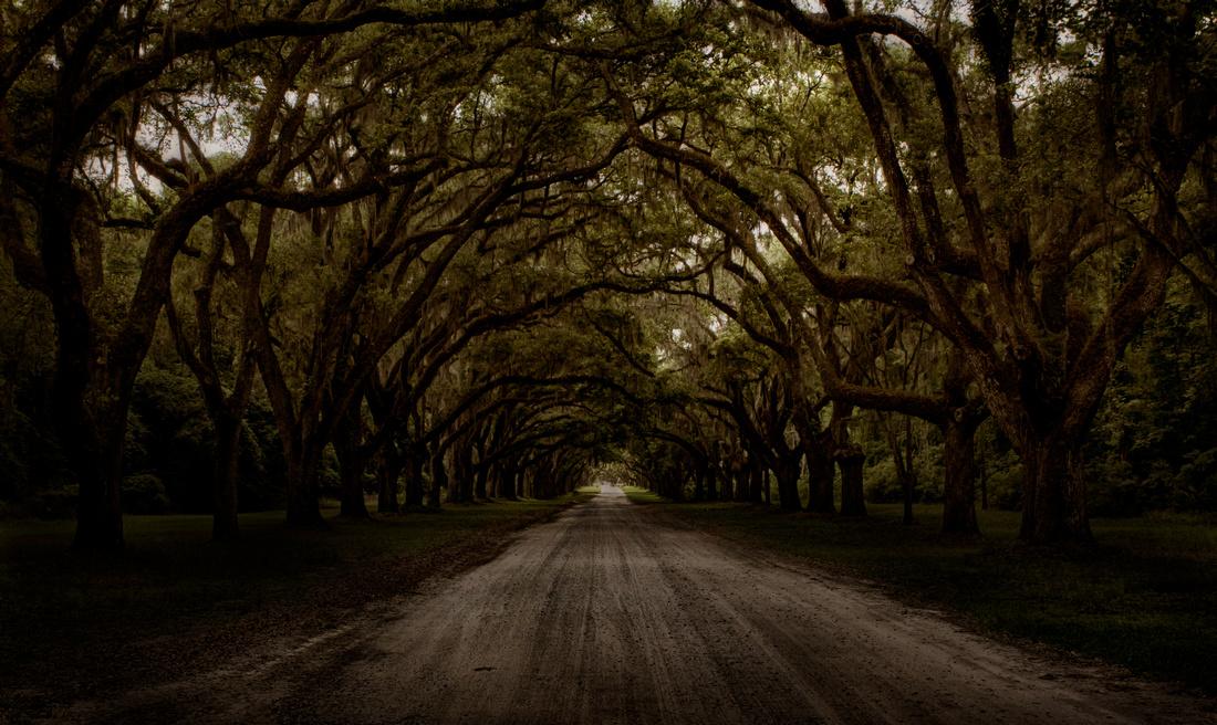 Savannah Live Oaks