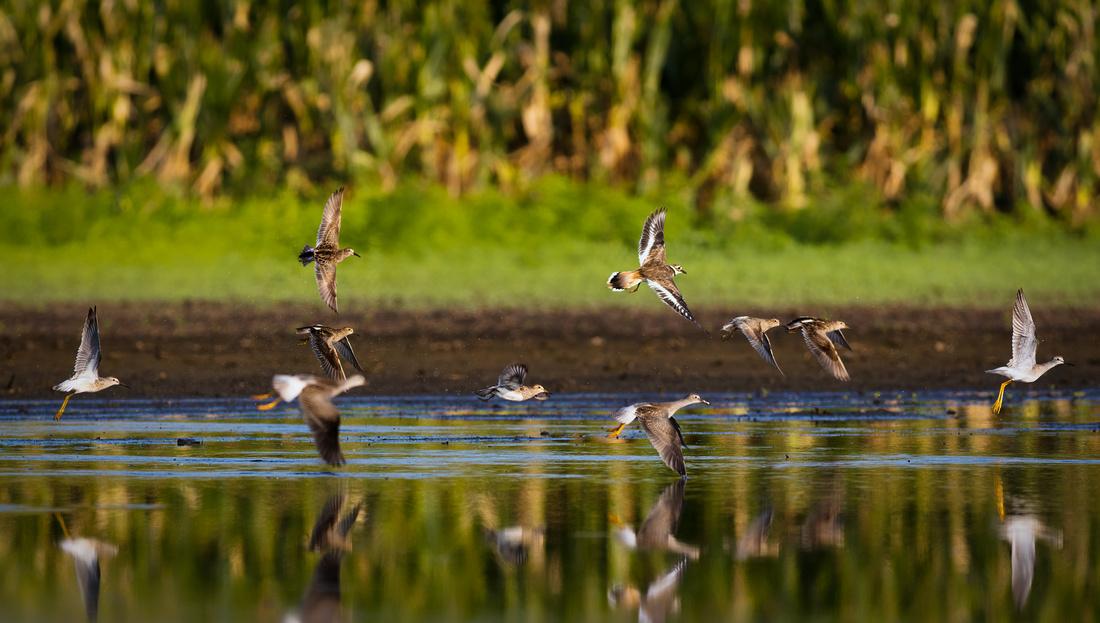 Shore Birds on the Move