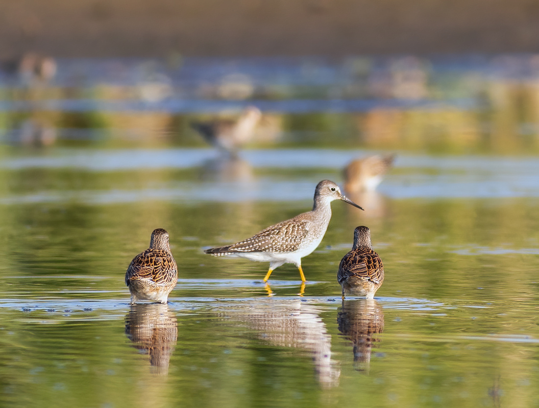 Check Out those Yellowlegs