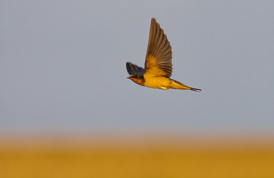 Barn Swallow in Flight in Golden Light