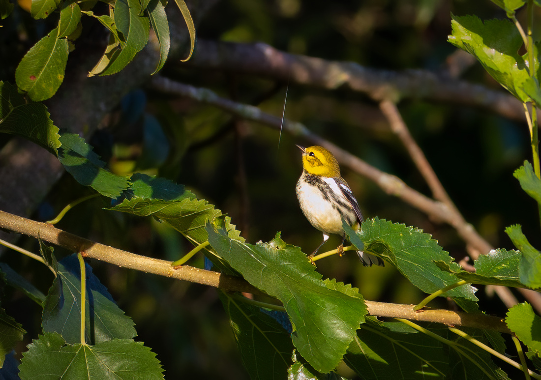 Black-throated Green Warbler Browsing the Web