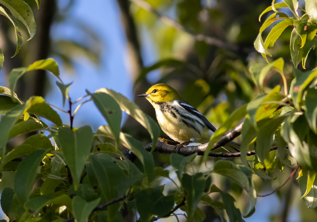 Black-throated Green Warbler Profile