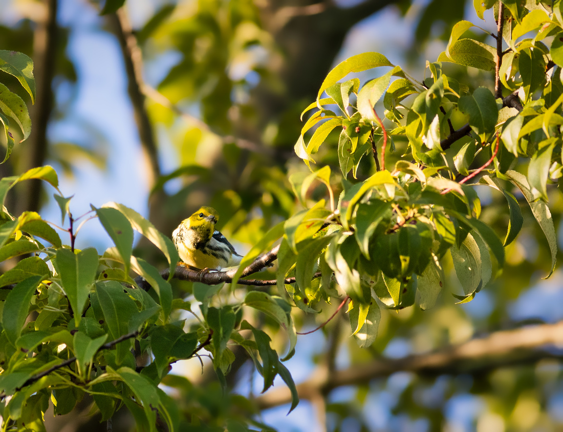 Inquisitive Black-throated Green Warbler