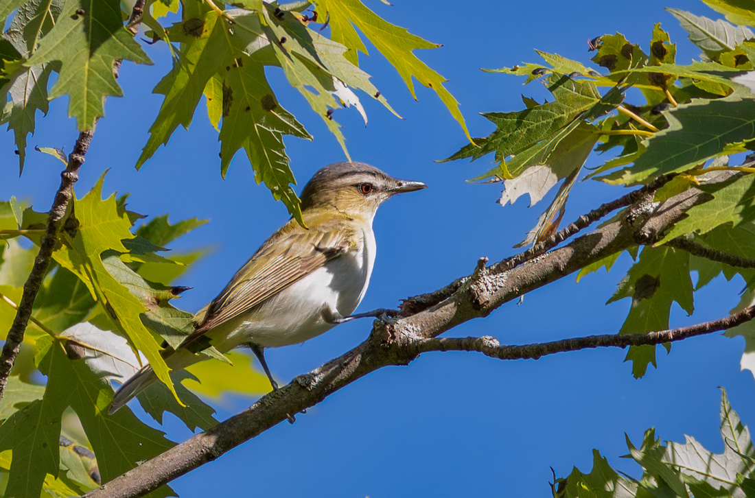 Red-eyed Vireo Profile