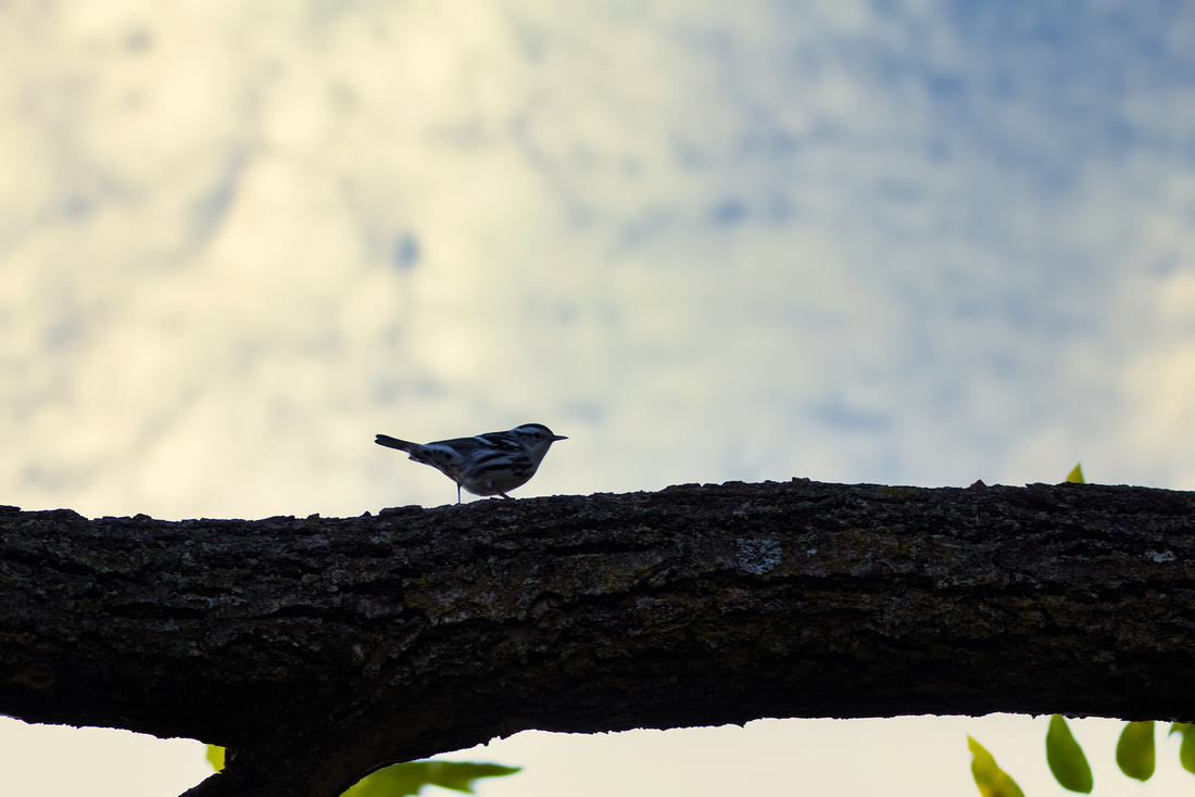 Black-and-white Warbler at Ewing Park