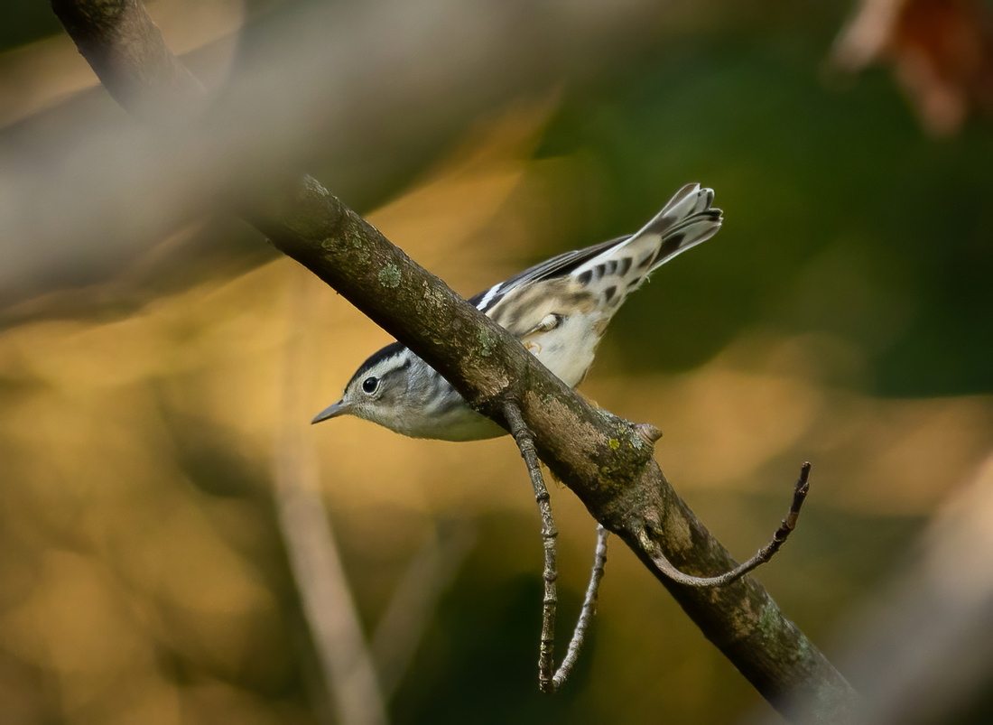 Black-and-white Warbler at Ewing Park-2