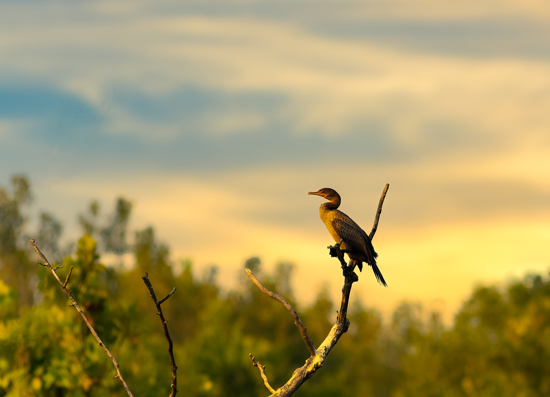 Double-crested Cormorant at Sunrise
