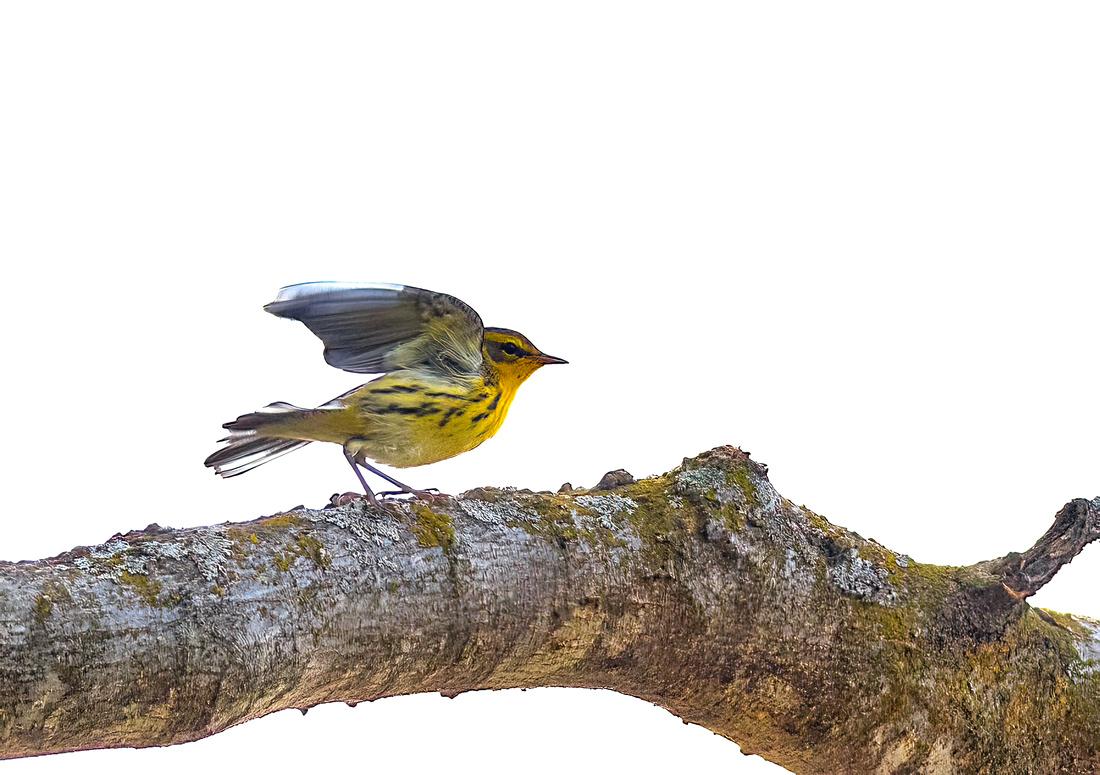 Blackburnian Warbler Wings Up