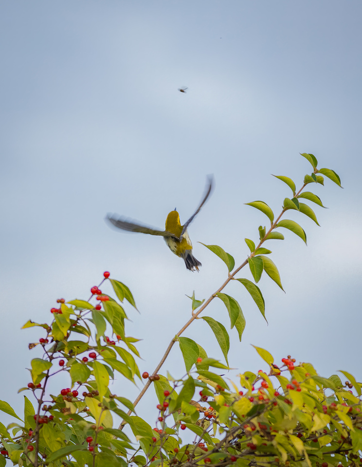 Black-throated Green Warbler on the Attack