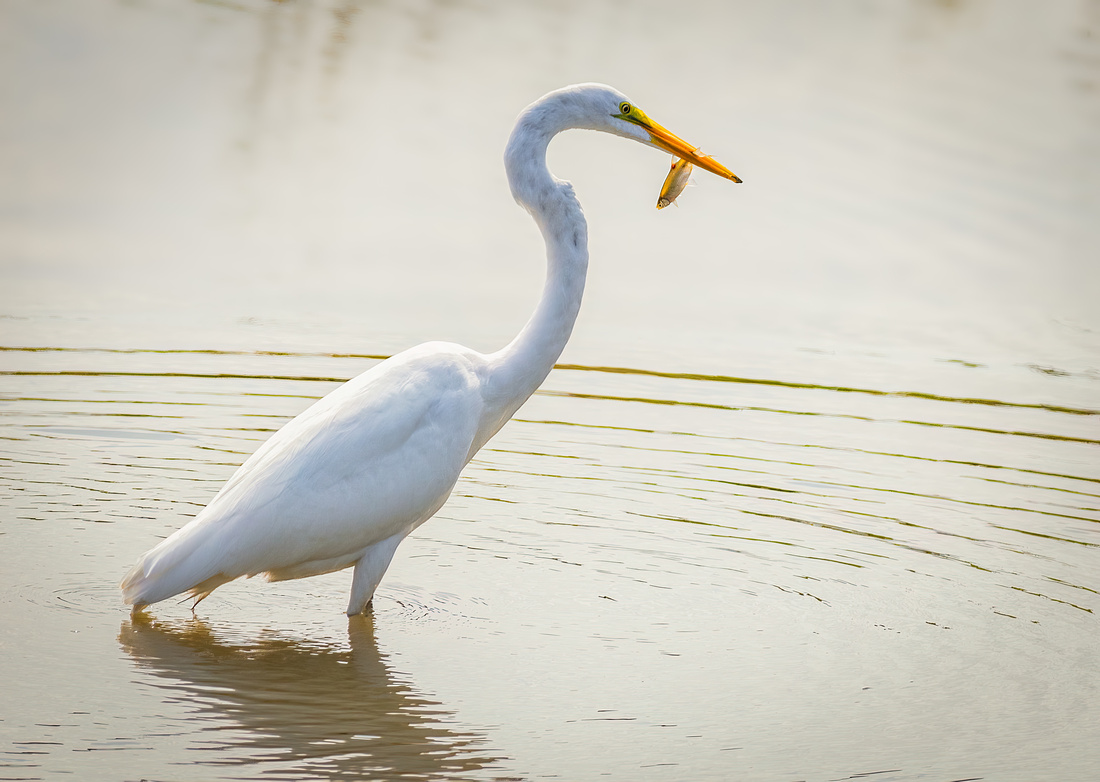 Great Egret with a Fresh Catch