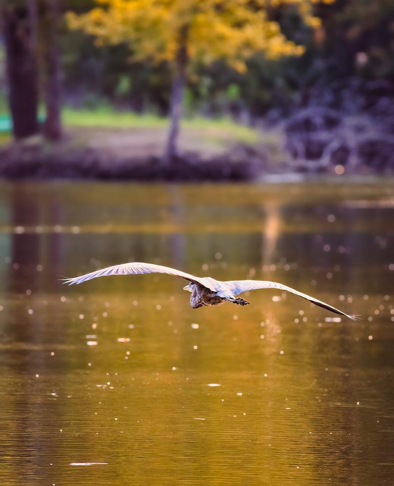 Great Blue Heron at Centennial Park in Heyworth Illinois-4