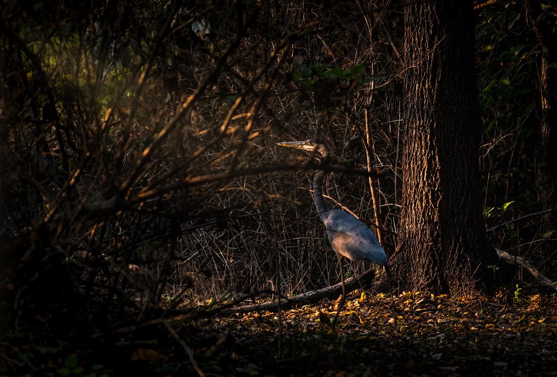 Great Blue Heron at Centennial Park in Heyworth Illinois-2