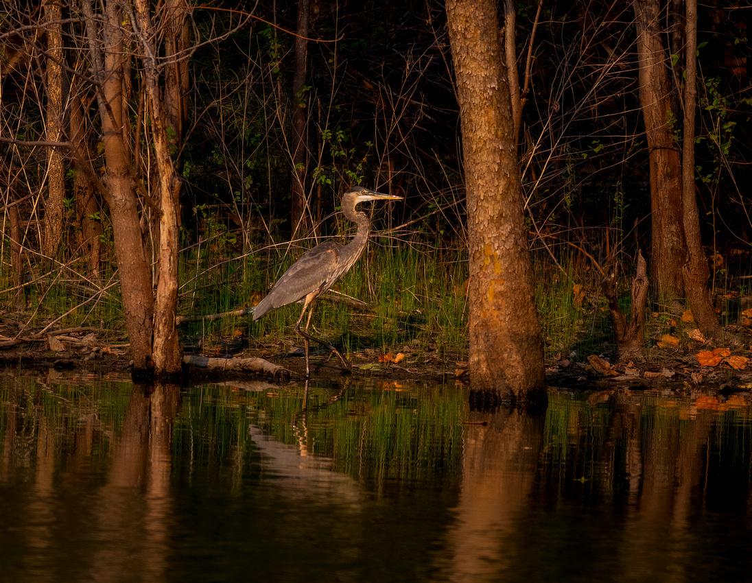 Great Blue Heron at Centennial Park in Heyworth Illinois