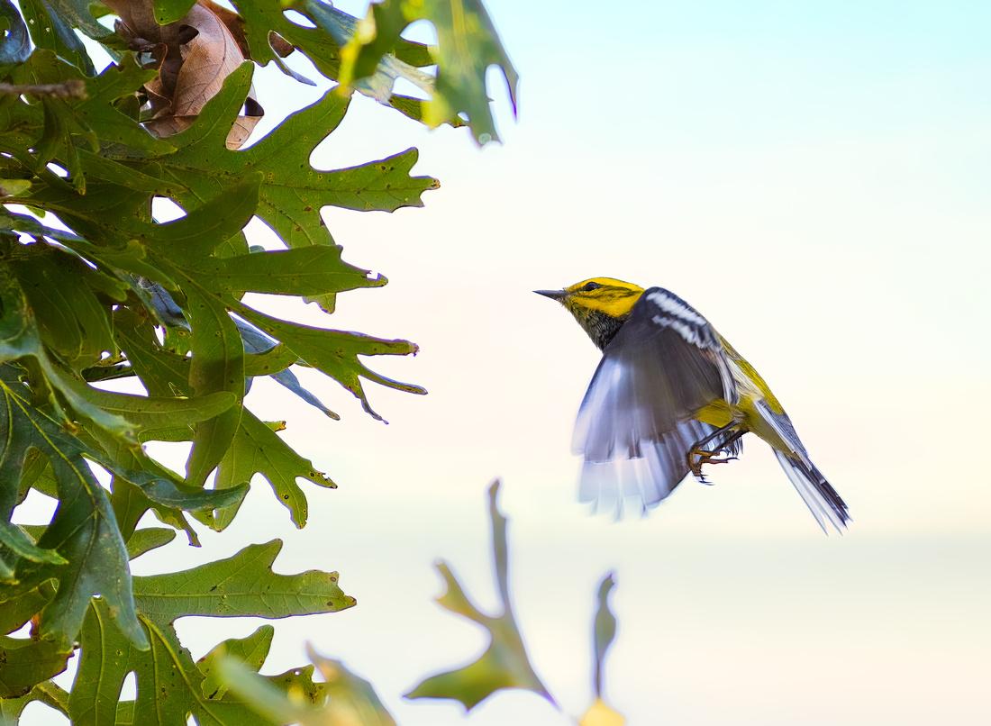 Black-throated Green Warbler Approaching a White Oak Tree