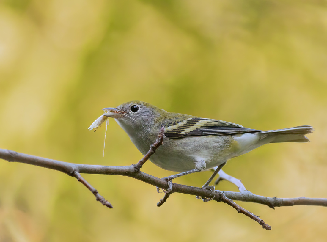 Chestnut-sided Warbler with a Moth