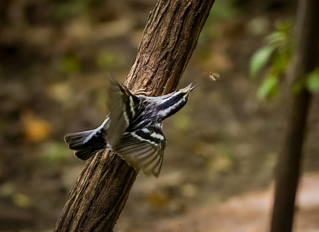 Black and White Warbler in Action