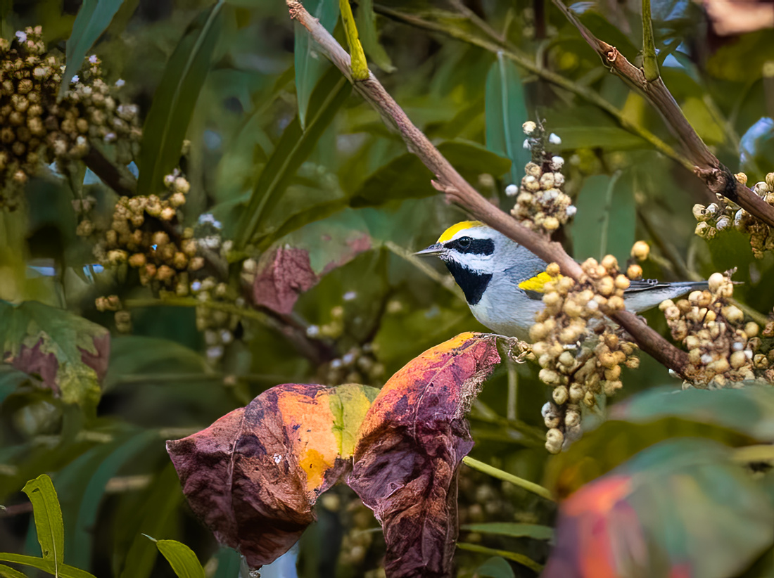 Golden-winged Warbler in the Fall
