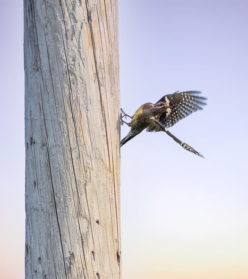 Yellow-bellied Sapsucker Takeoff